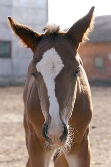 Free Foal Head Royalty Free Stock Photography - 9382817