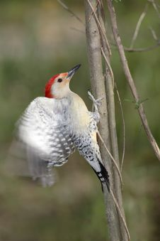 Red Bellied Woodpecker Stock Photos