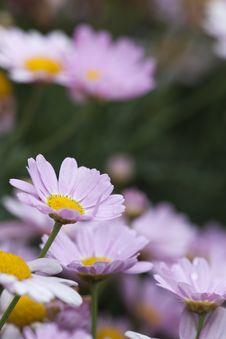 Free Daisy Stock Photography - 9383442