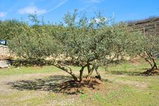Free Olive Tree. Royalty Free Stock Photo - 9384595