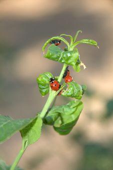 Free Ladybugs Royalty Free Stock Photos - 9387128