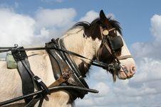 Free Irish Horse On Duty Royalty Free Stock Photo - 9387155