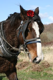 Free Irish Horse And Red Rose Stock Photo - 9387230