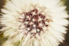 Free Dandelion Royalty Free Stock Images - 9387929