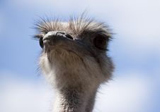 Free Ostrich Portrait Stock Photography - 9388922