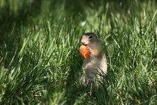 Free Black-tailed Prairie Dogs Stock Photography - 9388932