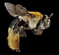 Free Macro Photo Of Bee Royalty Free Stock Photography - 93866657