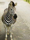 Free African Zebra Stock Images - 9392504