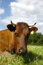 Free Cow Face Stock Image - 9393001