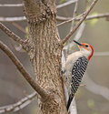 Free Red-bellied Woodpecker Stock Photos - 9399393