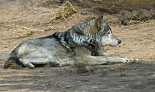 Free Wolf 4 Stock Images - 9391724