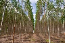 Free Eucalyptus Forest In North-east Of Thailand Royalty Free Stock Images - 9392229