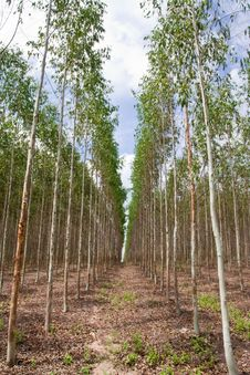 Free Eucalyptus Forest In North-east Of Thailand Royalty Free Stock Photo - 9392305