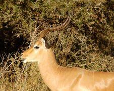 Free Africa Wildlife: Impala Stock Image - 9392371