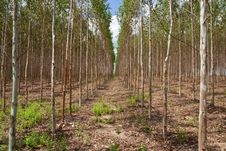 Free Eucalyptus Forest In North-east Of Thailand Stock Photography - 9392372