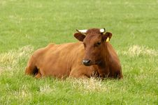 Free Brown Cow Stock Photo - 9392980