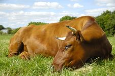 Free Resting Cow Stock Photography - 9393032