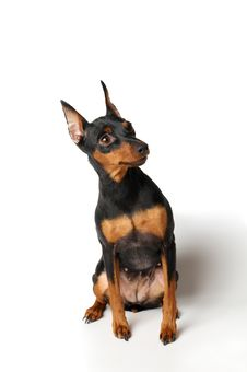 Free Black And Tan Miniature Pinscher Stock Image - 9393241