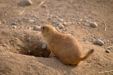 Free Prairie Dog Stock Photos - 9393573