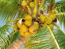Ripe Tropical Coconuts Stock Photos