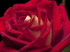 Free Rose Macro Stock Image - 9394071