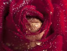 Free Rose Macro Royalty Free Stock Image - 9394116