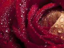 Free Rose Macro Stock Photography - 9394122