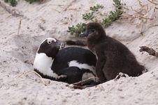Free Tender Family Of Penguins Stock Images - 9394134