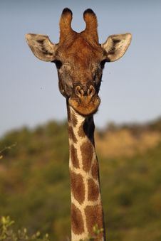 Free Giraffe 3 Royalty Free Stock Photography - 9394157