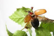 Free May-bug Royalty Free Stock Photo - 9394995