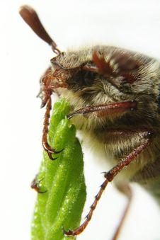 Free May-bug Stock Photo - 9395010