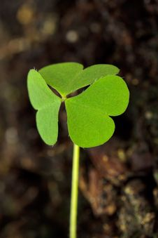Free Clover-leaf In The Garden Stock Images - 9395604