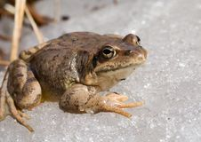 Free Frog On Ice 8 Stock Photography - 9397232