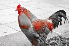 Free Rooster Stock Image - 9397491