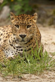 Free Leopard Looking At You Royalty Free Stock Images - 9397509