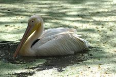 Free White Migratory Pelican Bird Royalty Free Stock Photography - 9398467