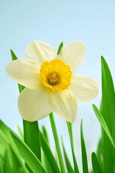 Free Yellow Daffodil. Royalty Free Stock Images - 9399619