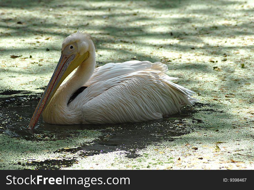 White migratory pelican bird