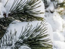 Free Snow On Pine Leaves Royalty Free Stock Photo - 93945525