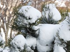 Free Snow On Pine Leaves Royalty Free Stock Photography - 93945647