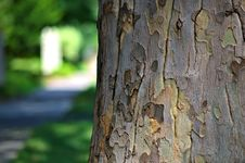 Free Mid-summer Sycamore Royalty Free Stock Image - 93946166