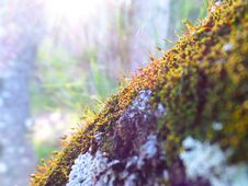 Free Mossy Tree In The Sunset Stock Image - 93947001