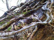 Free Big Old Vine Covered Tree Stock Image - 93947141