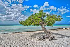 Free Aruba Divi Tree Stock Images - 93947194