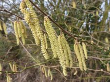 Free Hazel Catkins Stock Photography - 93947962