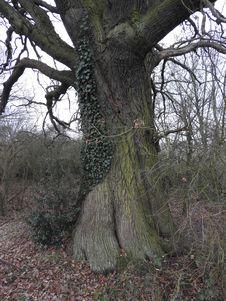 Free Oak Royalty Free Stock Image - 93947976