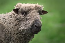 Free Woolly Sheep Royalty Free Stock Photos - 93948978