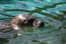 Free Harbor Seal, Water, Fauna, Mammal Stock Photography - 93949382