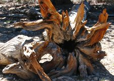 Free Bristlecone Pine Roots Stock Photos - 93996223