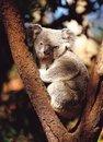 Free Koala With Tree Stock Photography - 943992